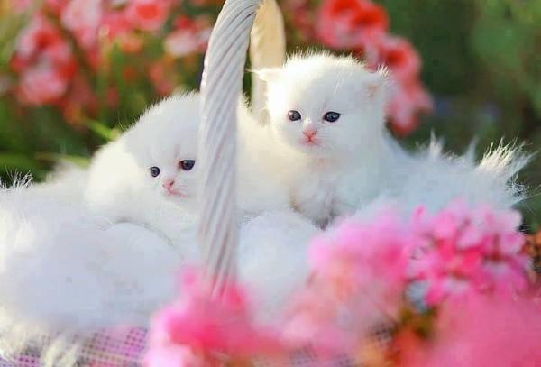 Yavru Beyaz Kediler