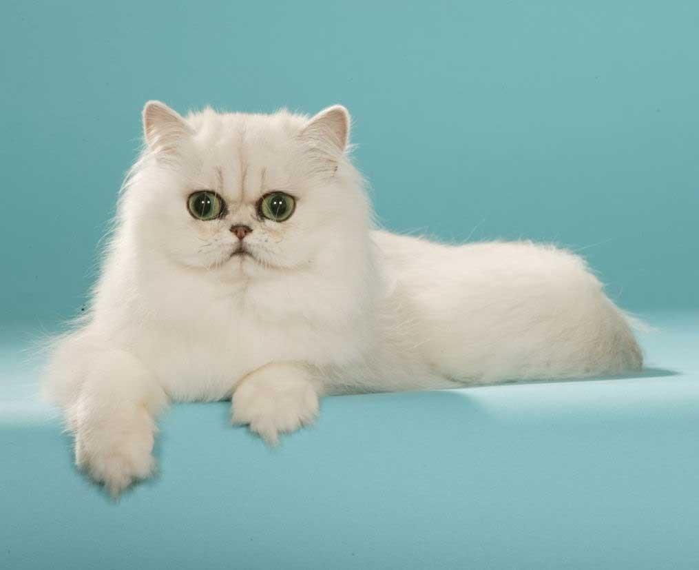 Eşsiz bir cins kedi - Sibirya