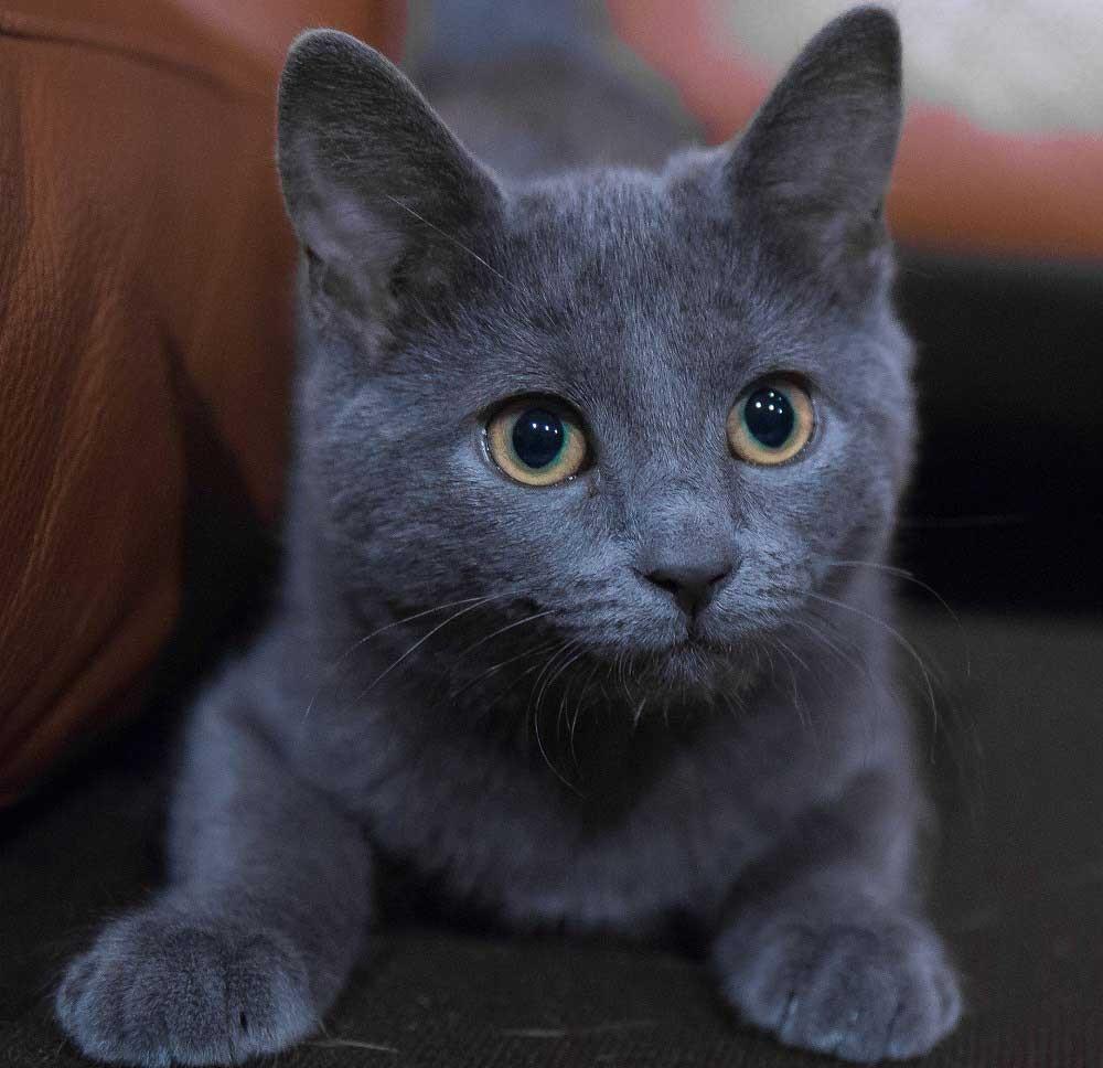 Kısa tüylü kediler: cinsler ve türler