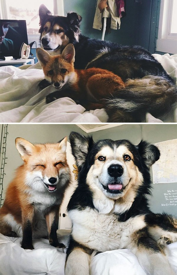 1- Juniper isimli tilki ve Moose isimli köpek