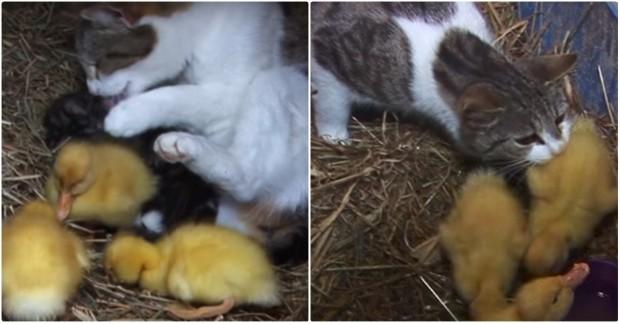 Yavru ördeklere annelik yapan kediyi görmek için ileri tuşuna basabilirsiniz.