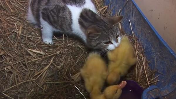 4 . Anne kedi bir an olsun yavruları yalnız bırakmıyor. Onları temizliyor, ısıtıyor.