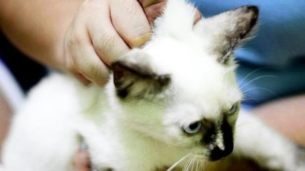 7 . Norveç 'de kedileri ensesinden tutmak yasaklandı!