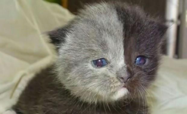 1 . 28 Mart 2017 tarihinde doğan British Shorthair cinsi kedinin yüzü iki renkli.