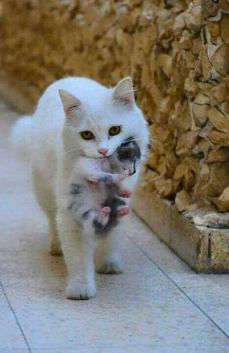 Bebeğini taşıyan bu dünyalar tatlısı anne kedi