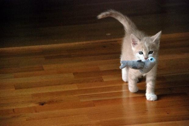 Oyuncağını taşıyan bu yavru kedicik