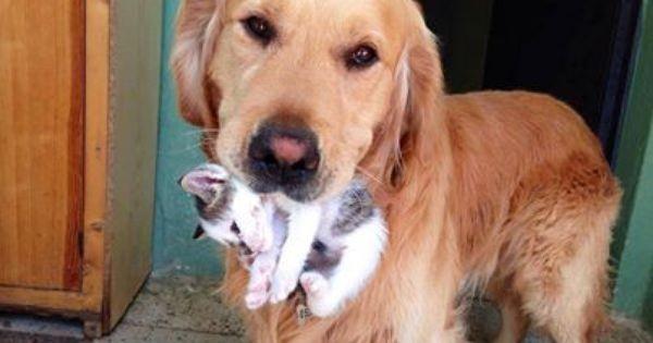 Ve süprizzzz...Yavru bir kedi taşıyan bu sevimli köpek