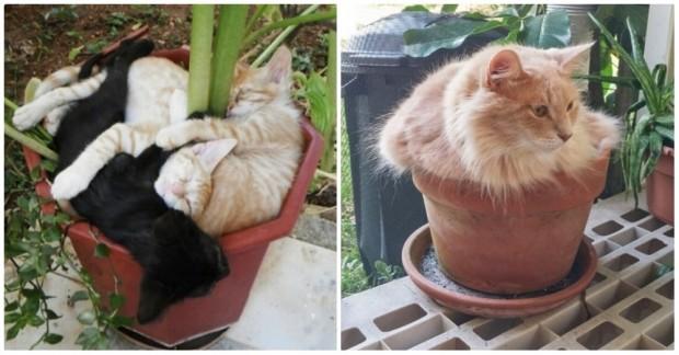 Her çeşit saksıya kendini sığdırmayı başaran birbirinden komik 18 kedi.