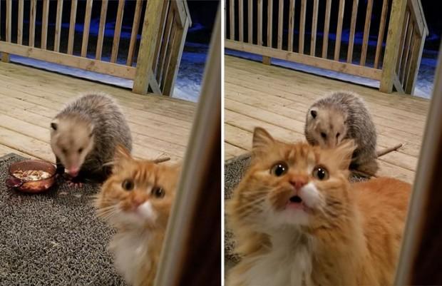 Bu ponçik kedi mamasını bir possum'a kaptırıyor.