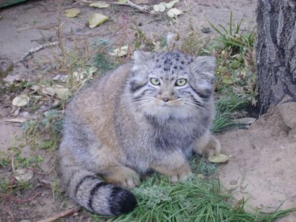 Bu kediler, yuvarlak gözleriyle ve kısa bacaklarıyla birer sevimlilik abidesi.