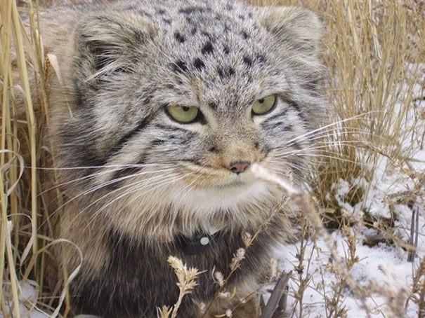 Onlar, değişik yüz ifadeleriyle kediler dünyasının en farklı kedilerinden.