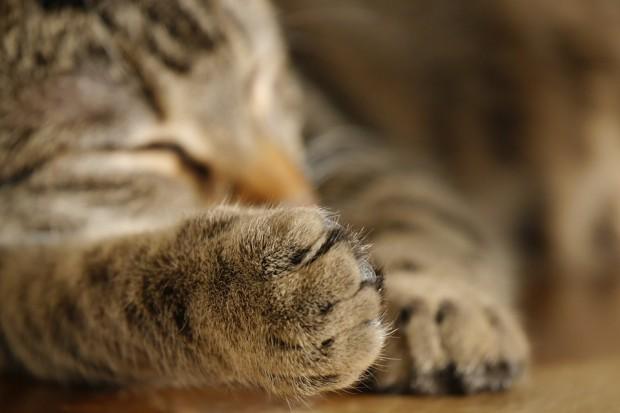 Kedilerin dominant patileri vardır
