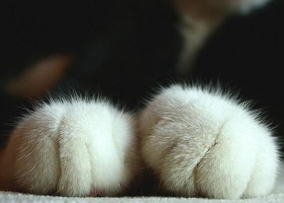 Pati izleri diğer kedilerden farklılıklar gösterebilir