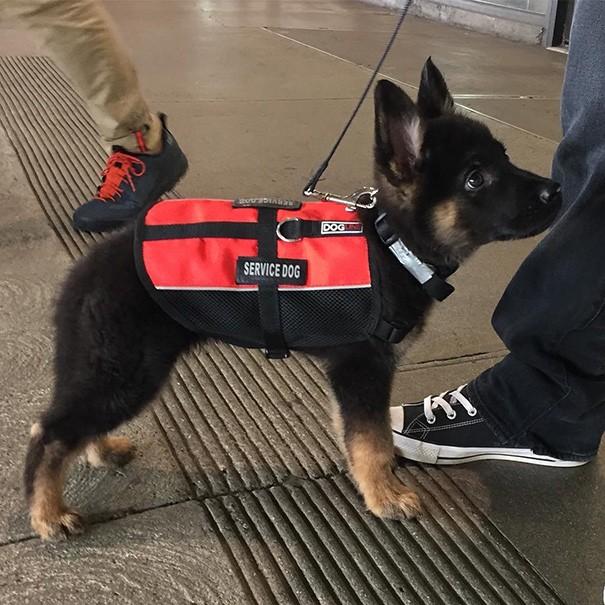 Ve dünyanın en şirin hizmet köpeği ödülünün sahibi karşınızda!