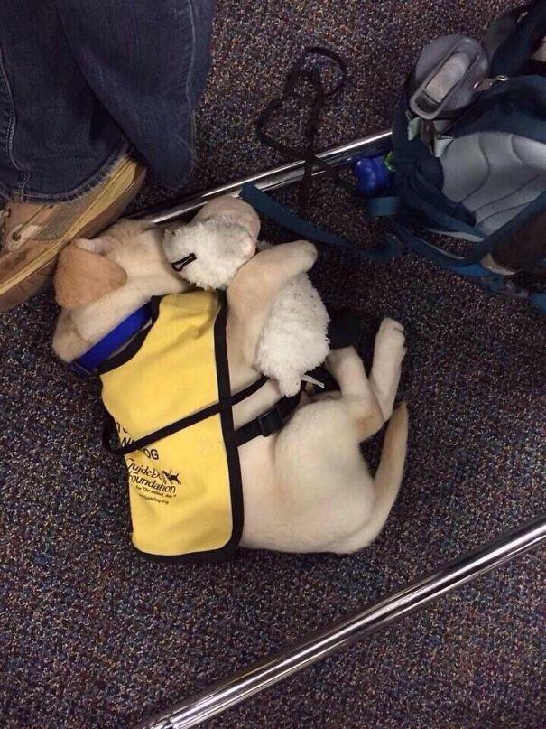 O bir hizmet köpeği olacak ve insanlara yardım edecek. Ama şimdilik hala bir bebek!