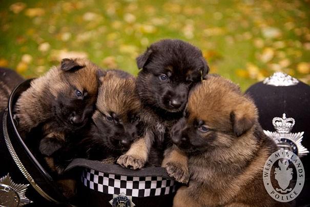 Minik polis memuru yavrucakları.