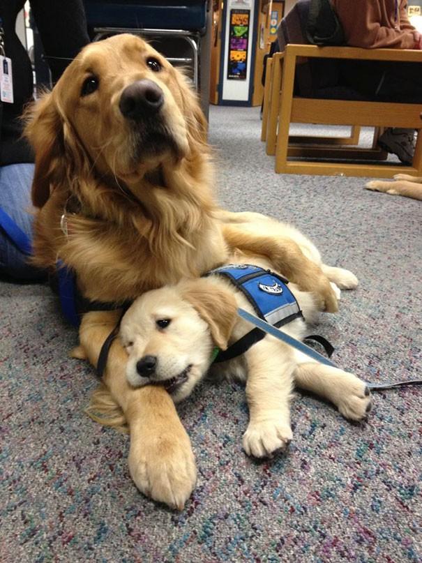 Terapi köpeklerinin de terapiye ihtiyacı olabilir.