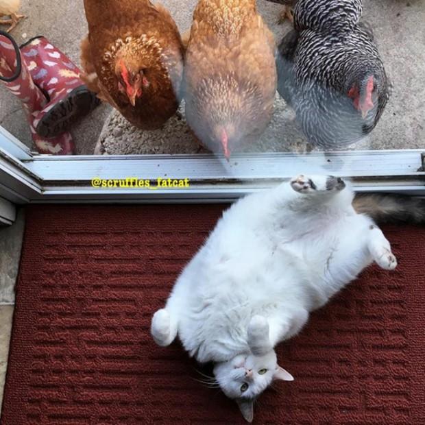 Hatta kendisi tavuk arkadaşlarına karşı pek bir misafirperver: