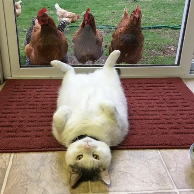 Onu, sırt üstü yatarak tavuklarla poz verdiği meşhur kareden hatırlıyor olmanız kuvvetle muhtemel.