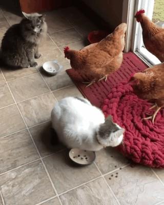 Bu, sosyal medya platformlarında gördüğümüz ilk kedi-tavuk dostluğu olabilir