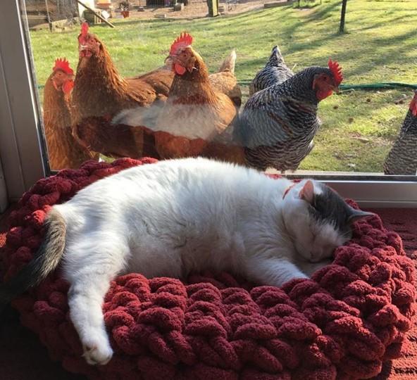 Scruffles'ın muhtemelen haberi yok ama bu tavuklar ona kafayı fena takmış durumda!