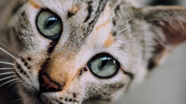 Modern kedilerin en yakın atası 30 milyon yıl önce yaşamıştır