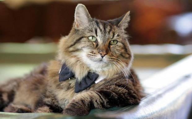 Mısır Mau'su kedi türleri arasındaki en eski türdür