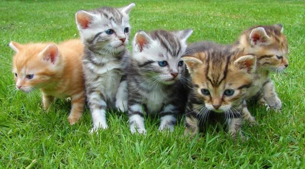 Kedi beyni nörolojik olarak insan beynine, köpeklerden daha benzerdir