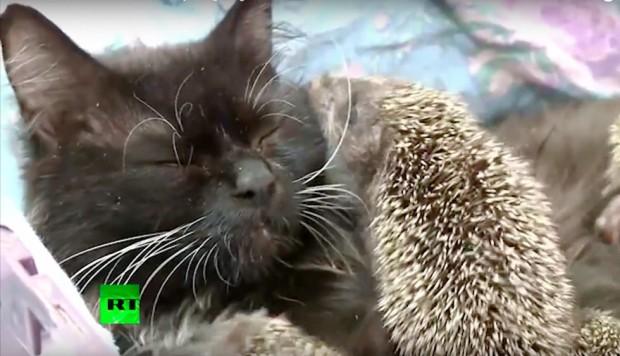 Sizi tatlı kedi Musya ve adeta kendi yavrusu gibi baktığı 8 kirpi ile tanıştıralım!