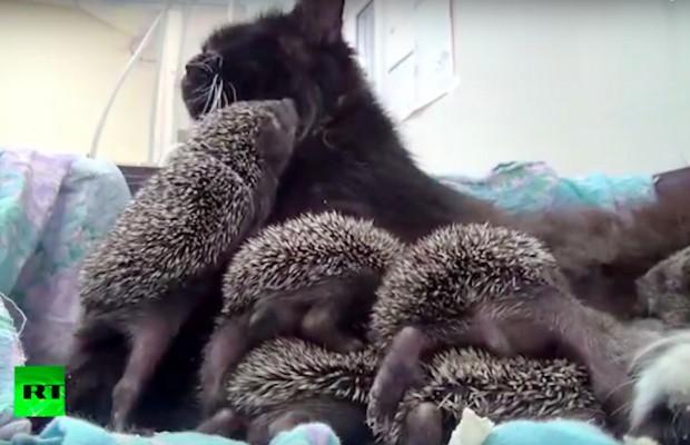 Musya, öksüz kedileri henüz emzirmişti ama hala sütü vardı. Bakıcılar, kabul eder umuduyla kirpileri onun yanına koyuverdi