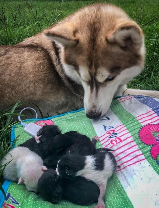 O andan itibaren Banner kedi yavrularını bir an bile bırakmamış. Onlara kendi yavrularıymış gibi annelik yaptı.