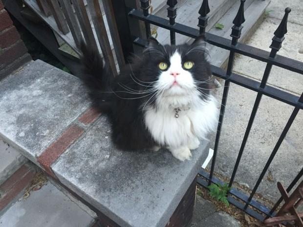 Minkus, kabarık ve pırıl pırıl tüyleri ile, Tuxedo yani smokinli kedi türünden bir kedidir.