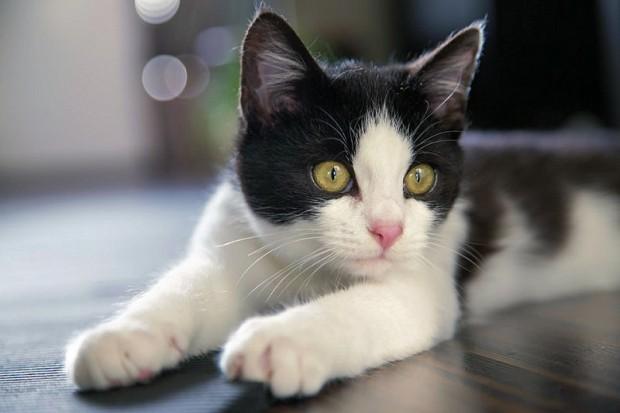 Bu türdeki smokinli kediler hem korumacıdırlar hem de oldukça dost canlısı..