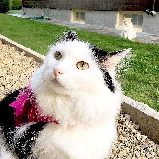 Alımlı tüyleriyle mahalledeki erkek kedilerin kalplerini çalan güzel Sophie'nin kalbini çalan komşusunun kedisi Scott